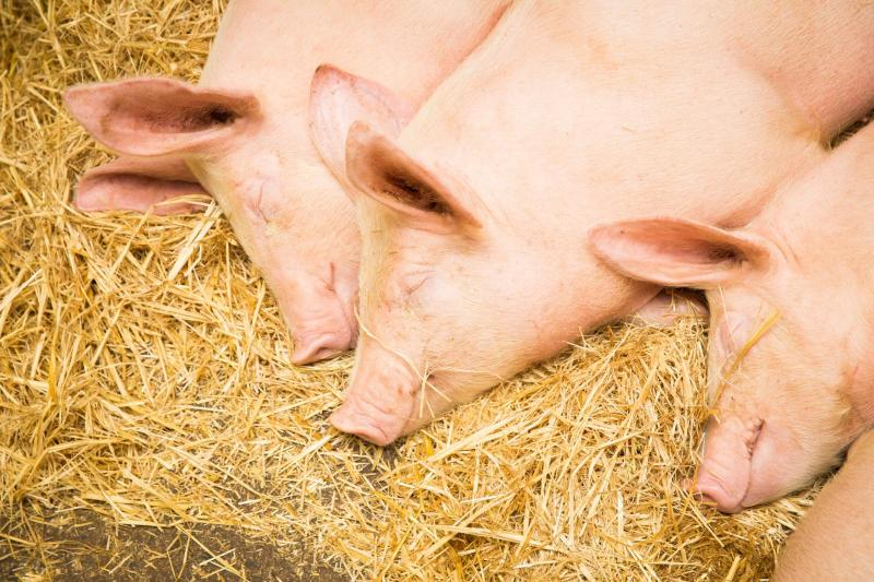 DL Sleeping Pigs-6